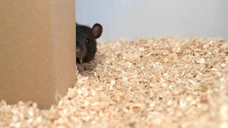 Hide and squeak: Scientists reveal the playful lives of rats