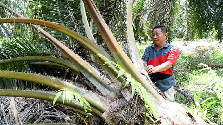 62.3% of palm oil plantations have obtained sustainability certification