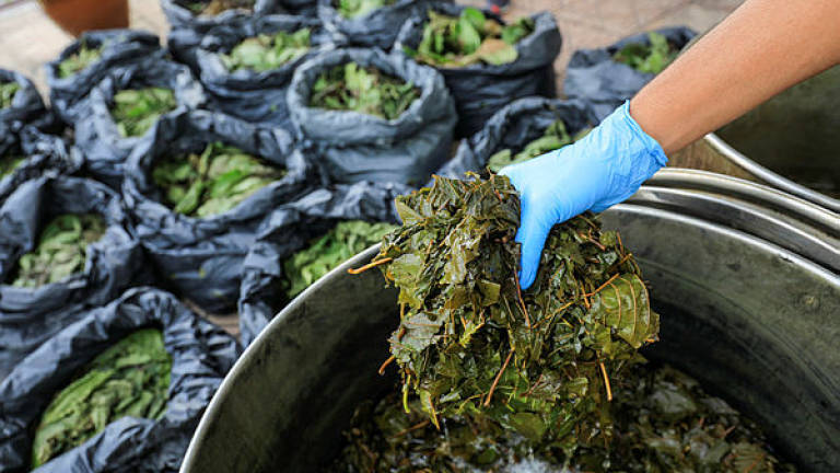 PGA seizes ketum leaves valued at over RM158,000