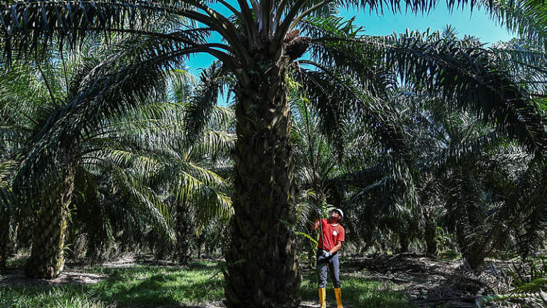 Crop diversification essential for survival of Felda settlers