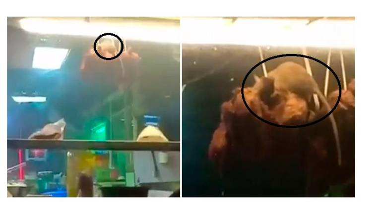 (Video) Rat nibbles away at chicken on hooks in Bayan Lepas