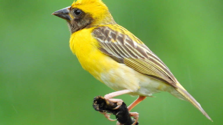 Businessman fined RM16,000 for possessing 243 Baya Weaver without licence