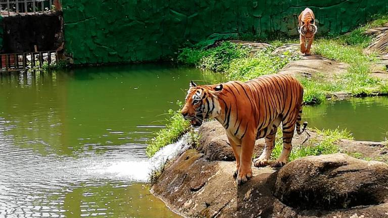 War declared on poachers to save Malayan tigers