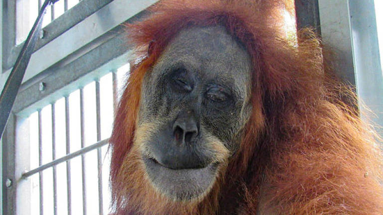 Orangutan recovers after shot with 74 airgun pellets in Indonesia