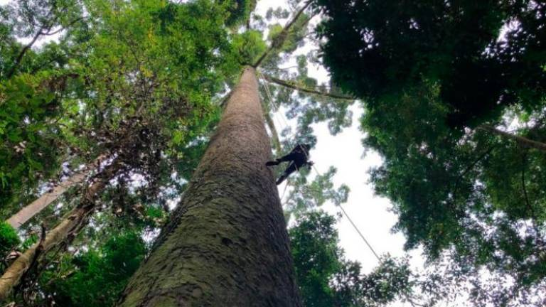 World's tallest tropical tree found in Sabah