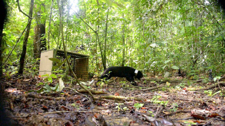 Second sun bear released into the Tabin wildlife reserve