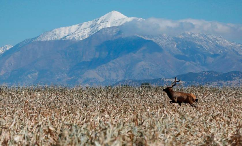 $!FILE PHOTO: A bull elk makes its way through the field as corn is harvested at the Kenison Farms in Levan, Utah, October 5, 2013. REUTERS/Jim Urquhart/File Photo