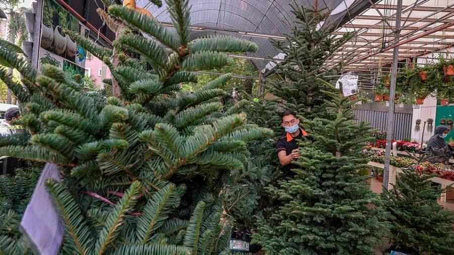 A flower shop worker arranges a Christmas tree for delivery to sale ahead of Christmas Day Celebration. These Christmas trees are brought from European countries aboard ships with tree heights ranging from five feet to nine feet and sold at prices ranging from RM350 to RM2000. - ADIB RAWI YAHYA/THESUN