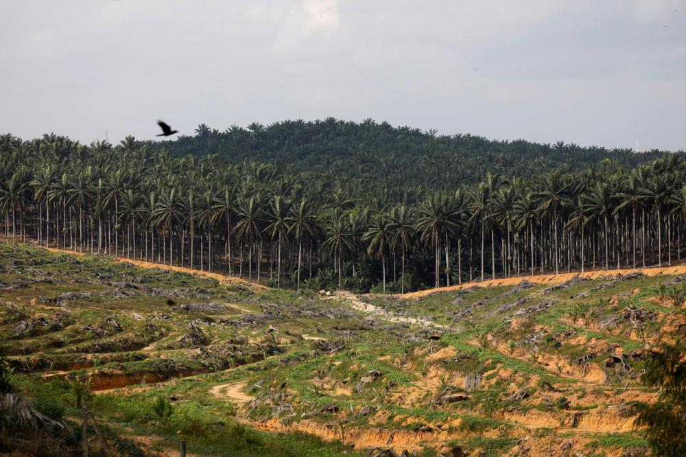 Tawau oil palm co-ops running out of time to get MSPO certification
