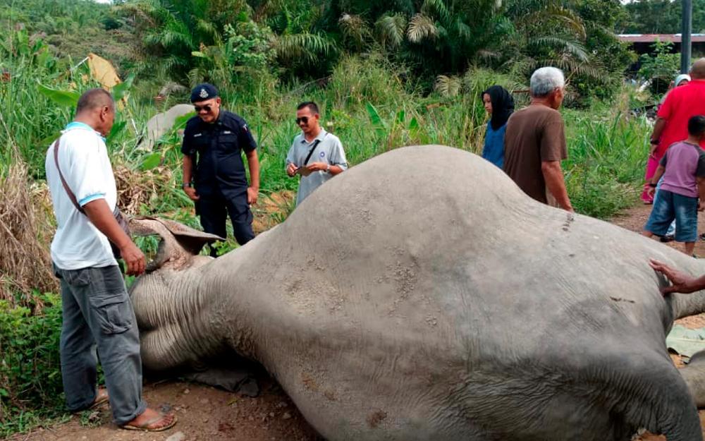 The carcass of an elephant at Kampung Sri Timur 3, near Kluang, Johor Baru on Jun 4, 2019. — Bernama