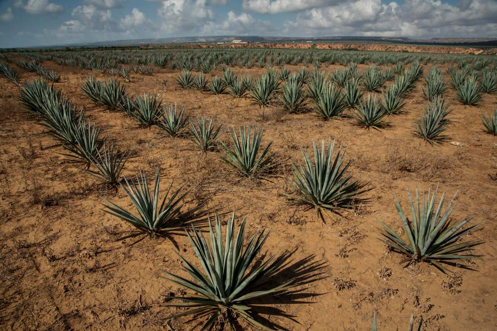 A general view of a sisal plantation near Amboasary Atsimo on the National Road 13 (RN13), on August 30, 2021. AFPpix