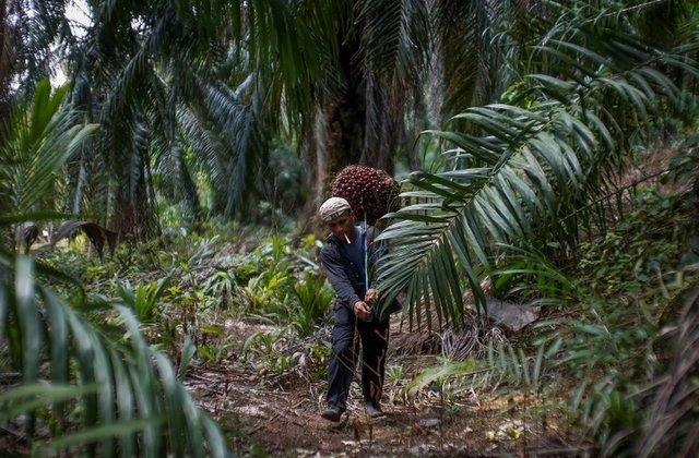 Indonesian worker Abdul Rahim Gani, 32, carries oil palm fruits at Felda Bukit Cerakah in district of Klang outside Kuala Lumpur April 16, 2014. REUTERS/Samsul Said/File Photo