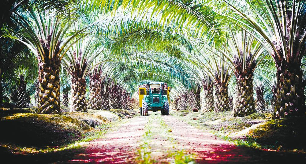 Plantation is one of Kulim's core business operations. The group wants to expand its agribusiness to include an integrated value chain of oil palm and cash crops. – Kulim (M) website pix